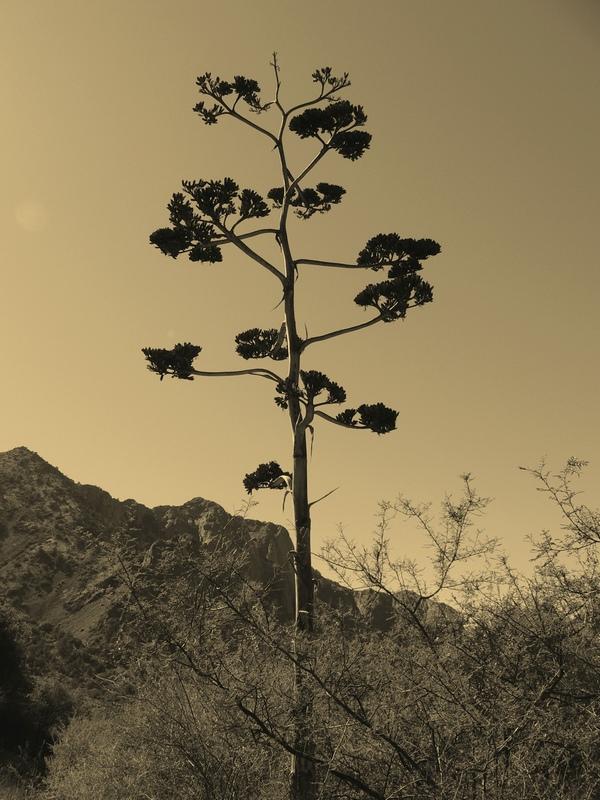 agave-sepia