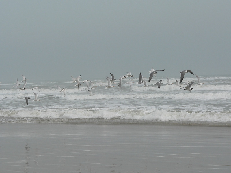 flying-sea-gulls