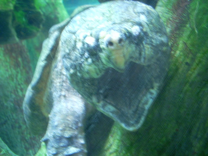 Resized Alligator Snapping Turtle