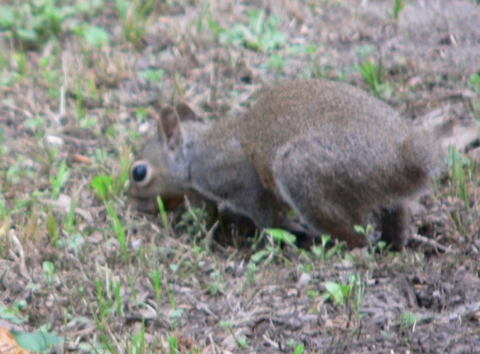 Resized Tailless Squirrel