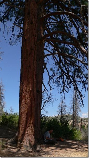 Big PineZion National Park 020