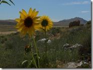 Sunflowers Great Salt Lake 014