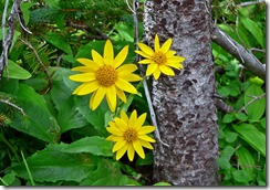 Daisies Rocky Mountain NP 019