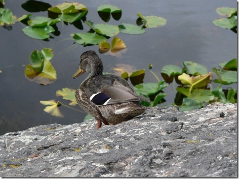 Duck Rocky Mountain 009