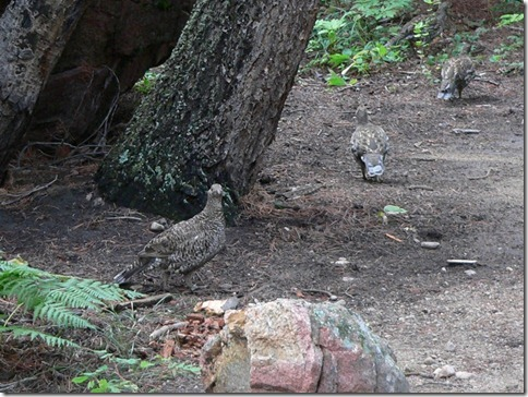 Grouse Rocky Mountain 061