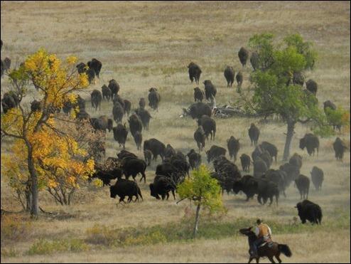 bison05