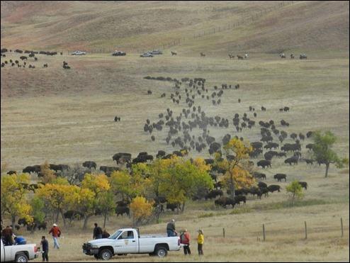 bison07